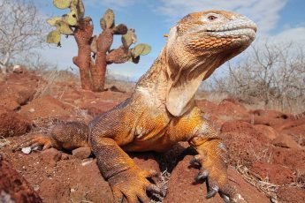 an iguana perching on rocky terrain with a cactus and blue sky in the background