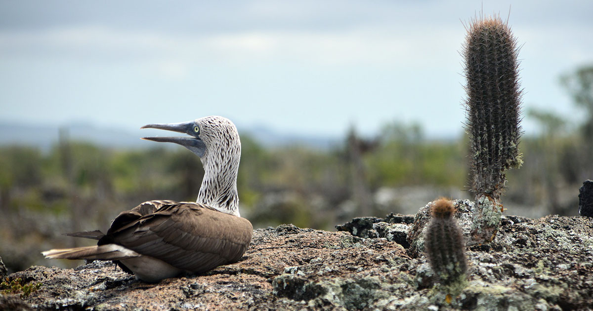 A blue-footed booby sits on a high-up rock over looking the ocean. It looks to the left with its peak slightly open. To its right in the foreground is a short, tubular cactus. In the right mid-ground is a taller, tubular cactus.