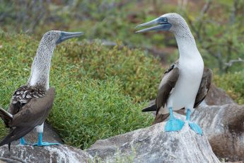 Two blue-footed boobies sitting on large boulders facing each other. Green bushes in the background.