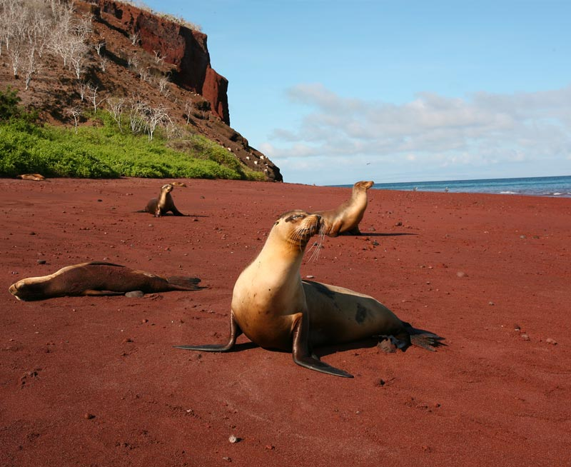 Four sea lions spread out on a red sand beach on Rabida Island, a small island in the Galapagos.