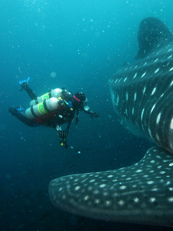 A scuba diver in the Galapagos Islands swims beside the body and fin of a white-spotted whale shark.