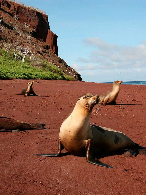 Three mature seals stare out to the ocean as they sit on the red sand of Rabida Beach in the Galapagos Islands.
