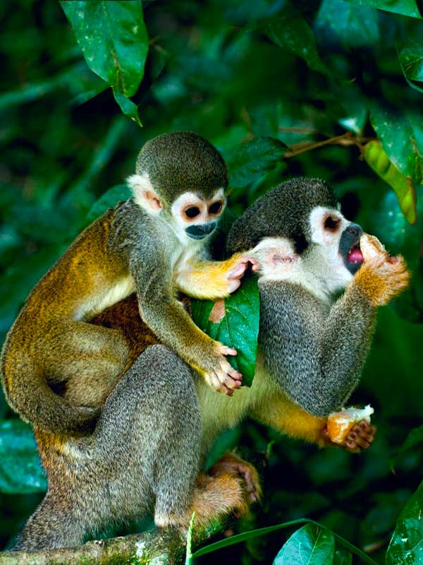 A baby monkey holds a leaf and sits on its mother's back as she eats fruit off a tree in the Ecuadorian Amazon rainforest.